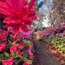 Photo of a dirt path through a garden of pink flowers