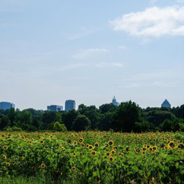 A large sunflower field with the downtown Raleigh skyline in the background