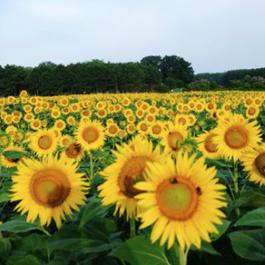 Giant sunflower field under a clear summer sky