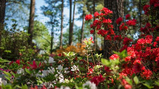 Beautiful, red azaleas at the WRAL Azalea Gardens