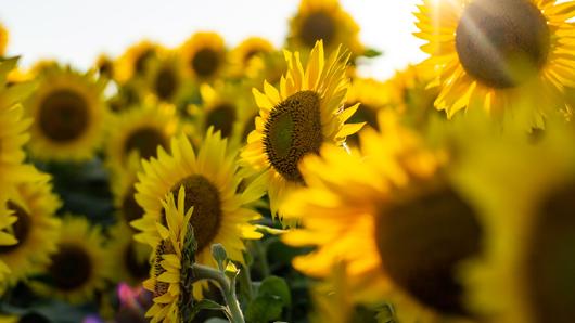Close-up photo of sunflowers