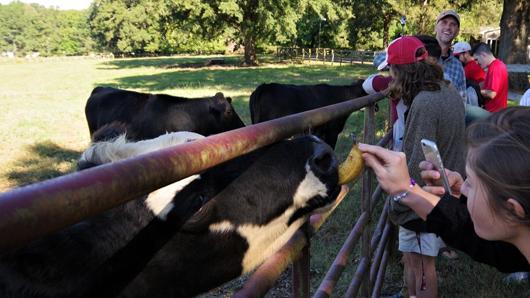 Visitors feeding cows bananas on a guided farm tour