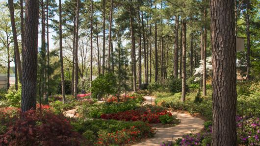 Pathways through WRAL Azalea Gardens' lush, pine tree forest setting