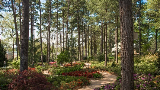 A pathway through a forest of azaleas and pine trees