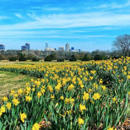 Beautiful, yellow tulips at Dorothea Dix Park with the downtown Raleigh skyline in the background